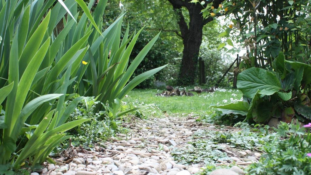 Canards dans le jardin